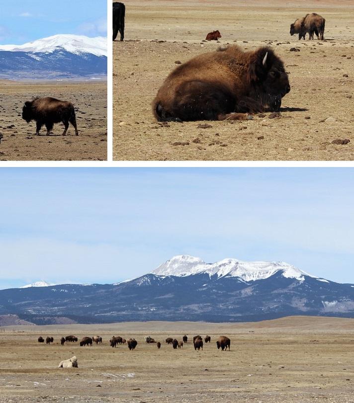 16 Bison